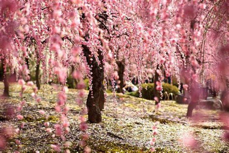 Rose - Arbres printemps